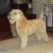 Dion\'s Wheaten Gracie 8 months