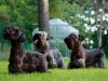 Our cesky terriers